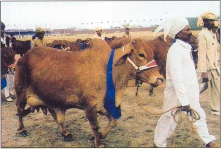 Horse Cattle Show 02